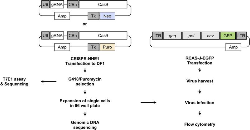 Precise gene editing of chicken Na+/H+ exchange type 1