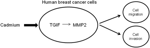 Long-term cadmium exposure promoted breast cancer cell migration and