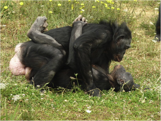 Gorilla sexually dimorphic features