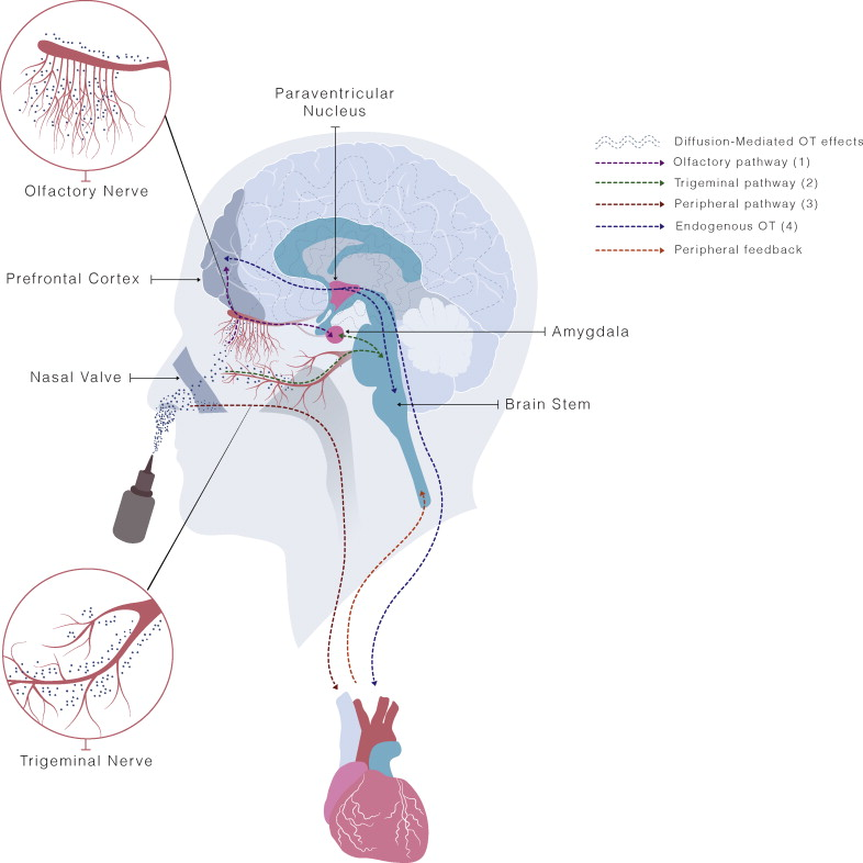 Do delivery routes of intranasally administered oxytocin account for ...