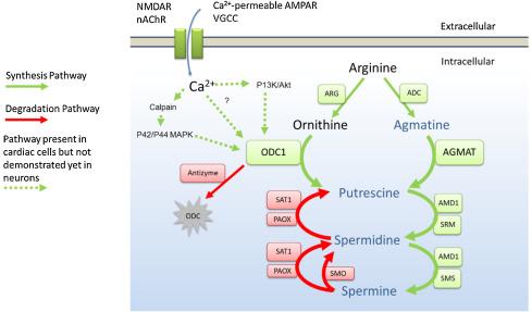 Targets of polyamine dysregulation in major depression and