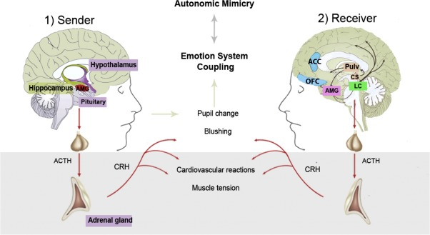 Connecting Minds And Sharing Emotions Through Mimicry A