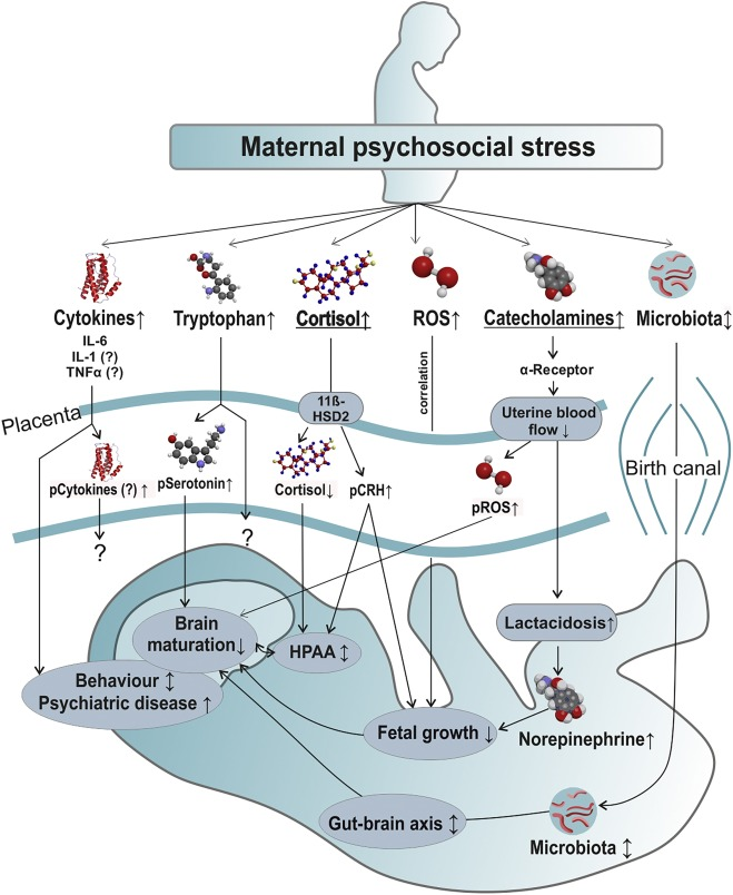 Transfer of maternal psychosocial stress to the fetus
