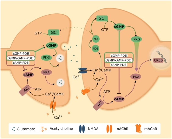 Phosphodiesterase inhibition and modulation of corticostriatal and ...