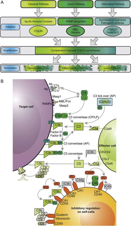 The Complement System Concept Map.Complement In Therapy And Disease Regulating The Complement System