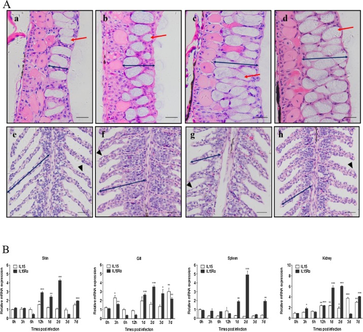 Molecular characterization and expression analysis of interleukin 15
