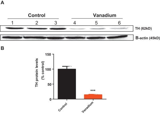Vanadium exposure induces olfactory dysfunction in an animal