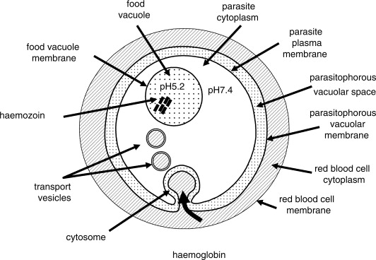 White Blood Cell Diagram | Naturally Occurring Cobalamins Have Antimalarial Activity