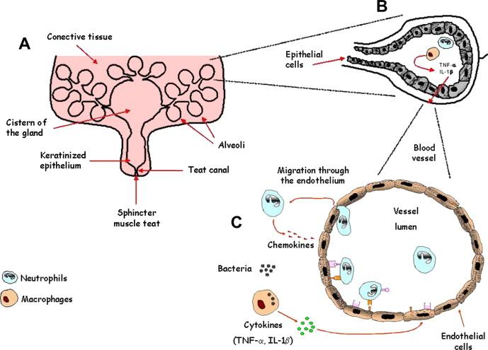 Innate Immune Response Of Bovine Mammary Gland To Pathogenic
