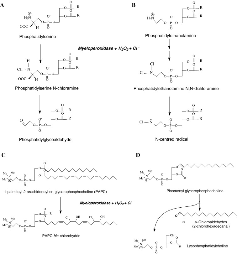 Risultati immagini per chlorinated lipids