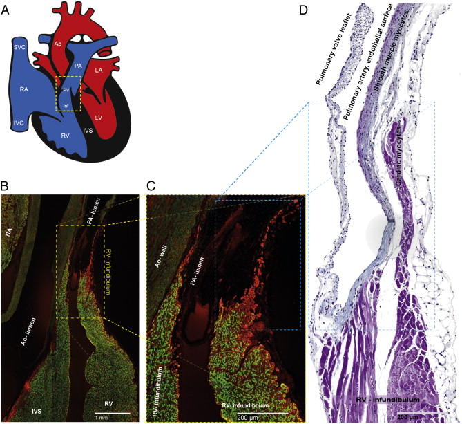 Structure, function and clinical relevance of the cardiac conduction