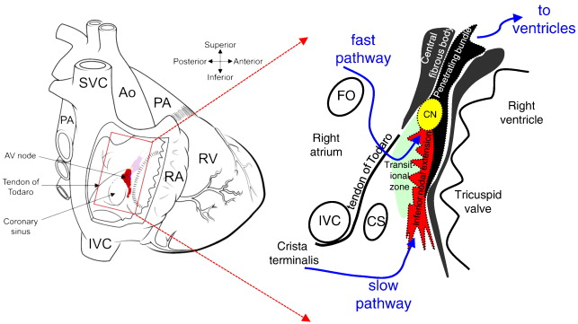 Structure, function and clinical relevance of the cardiac conduction ...