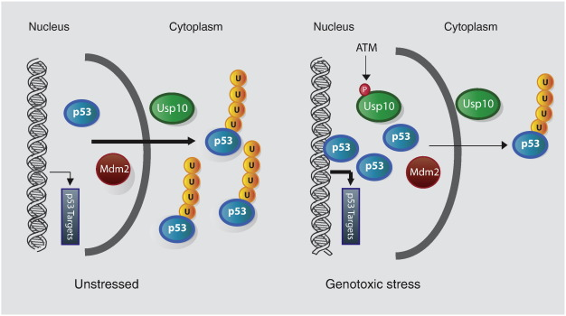 Deubiquitinase inhibition as a cancer therapeutic strategy
