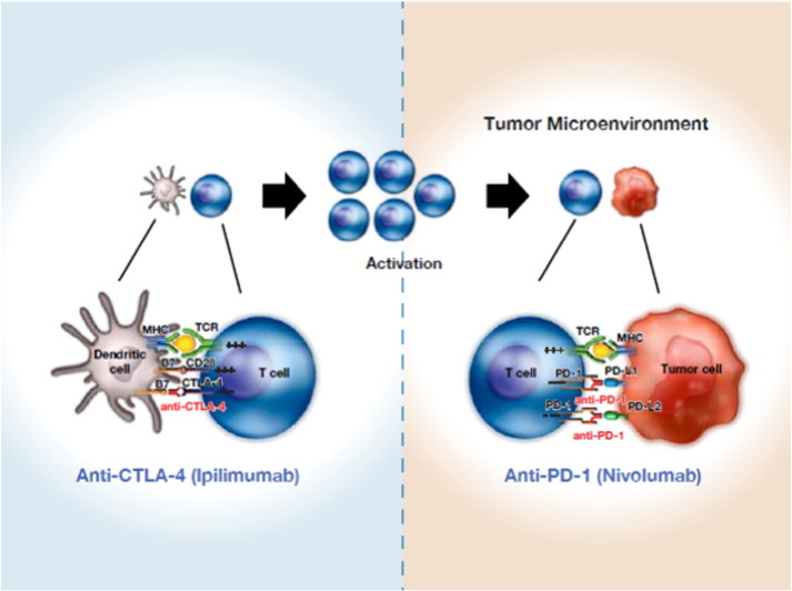 The Development Of Immunomodulatory Monoclonal Antibodies As A New Therapeutic Modality For Cancer The Bristol Myers Squibb Experience Sciencedirect