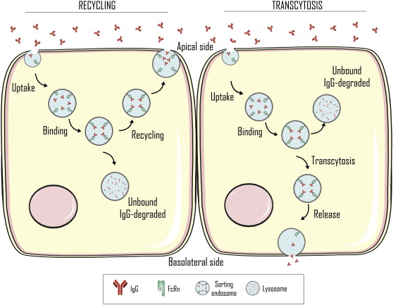 A comprehensive review of the neonatal Fc receptor and its