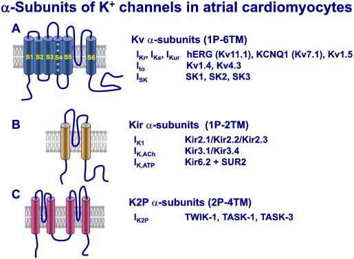 Atrial fibrillation: Therapeutic potential of atrial K+