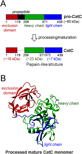 Therapeutic targeting of cathepsin C: from pathophysiology