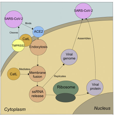 SARS-CoV-2's path in and out of an infected cell