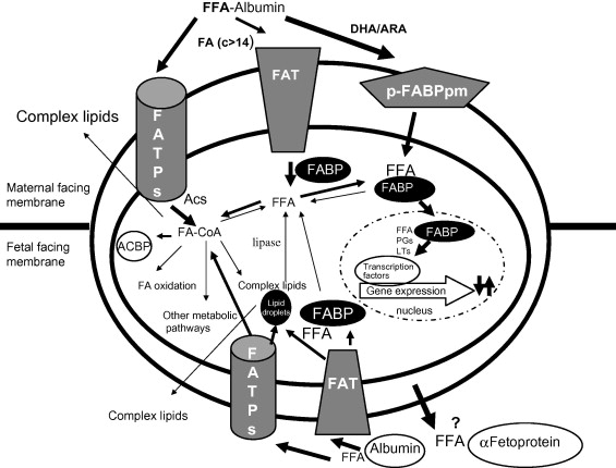 Transport Of Fatty Acids Across The Human Placenta A Review