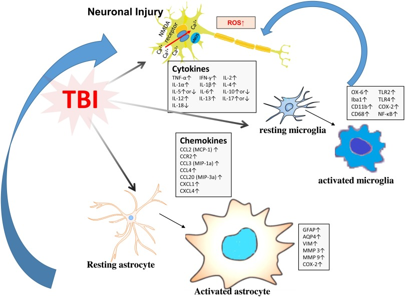 Neuroinflammation in animal models of traumatic brain injury