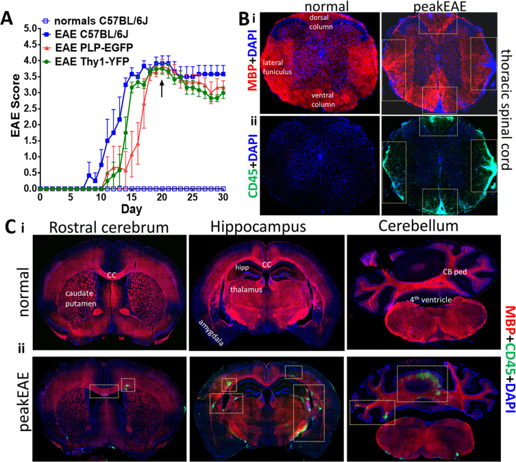 Consistent induction of chronic experimental autoimmune