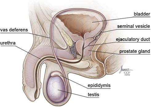 Ureplasma és prostatitis