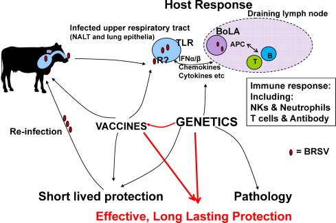 Genes controlling vaccine responses and disease resistance to respiratory  viral pathogens in cattle - ScienceDirectScienceDirect.com