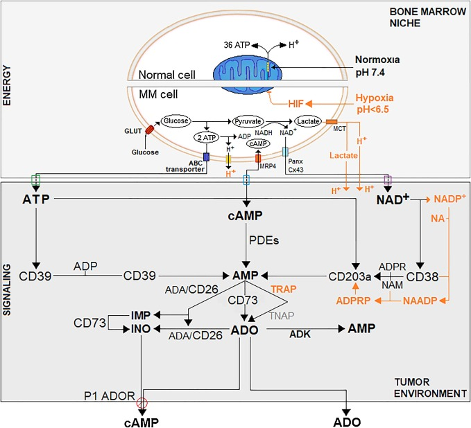 Functional insights into nucleotide-metabolizing ectoenzymes