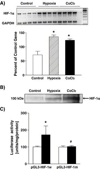 Evidence that hypoxia-inducible factor-1 (HIF-1) mediates