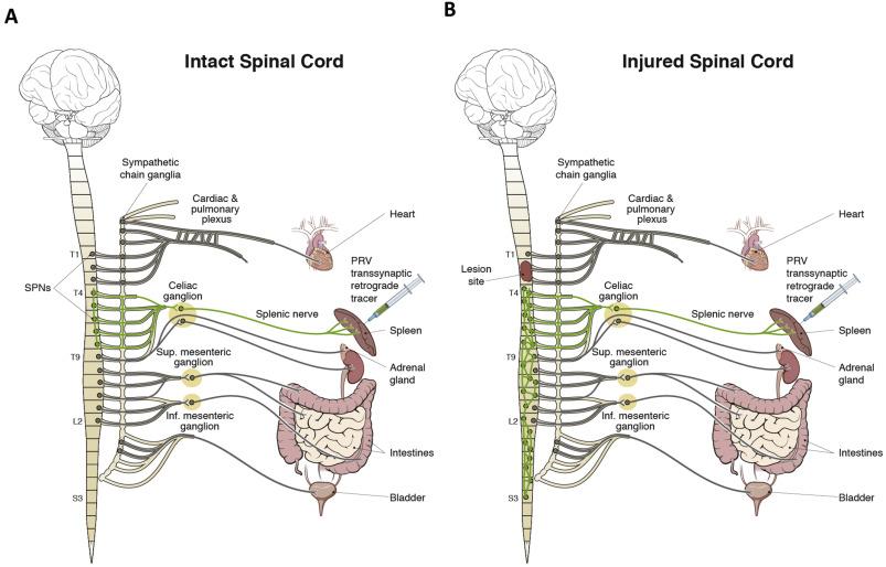 The Spleen As A Neuroimmune Interface After Spinal Cord Injury