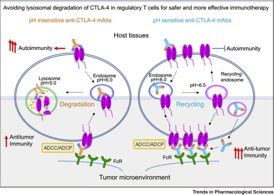 Preserving the CTLA-4 Checkpoint for Safer and More