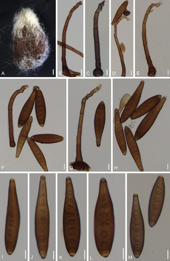 helminthosporium heveae paraziták novellája