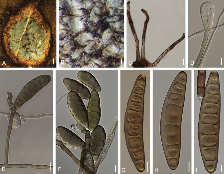 taxonómia helminthosporium oryzae