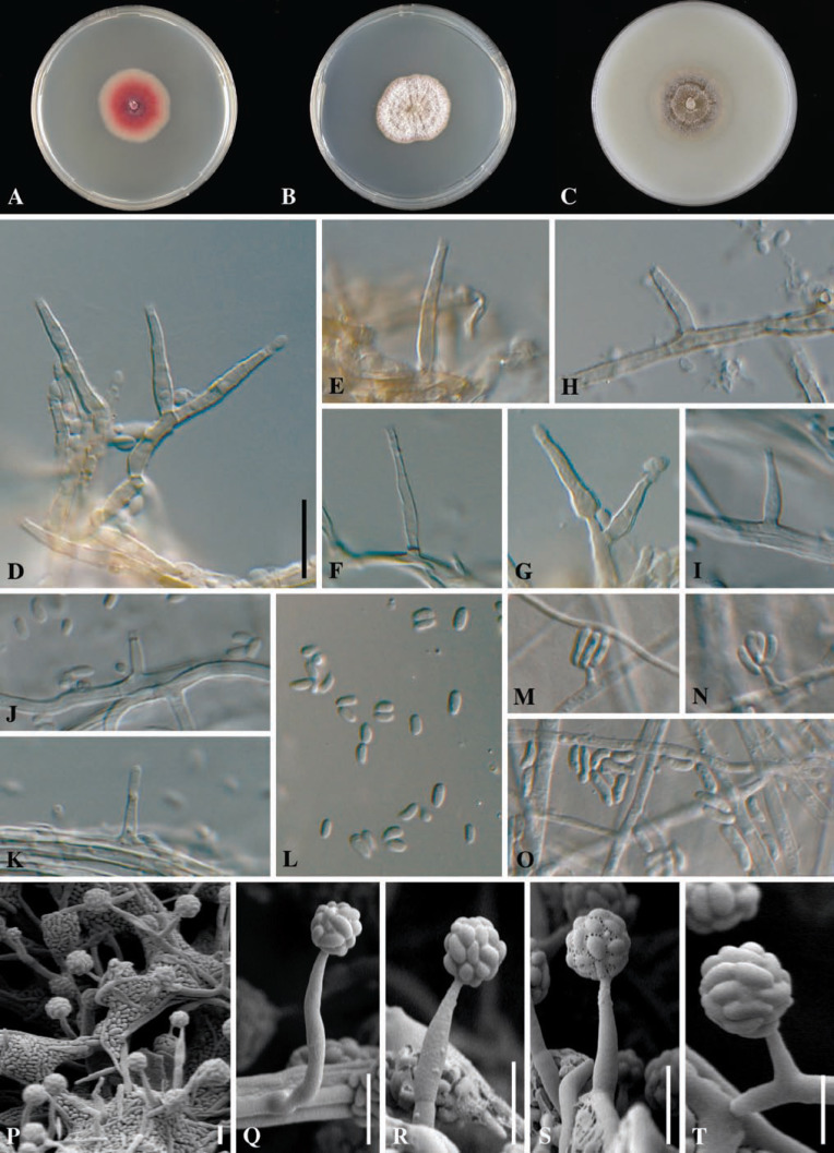 25eb4b8c73c Taxonomy and Pathology of Togninia (Diaporthales) and its ...