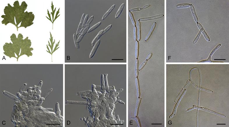 Eucalyptus branche Natural 45 cm cg Art Branche Art Plantes Artificiel Eucalyptus