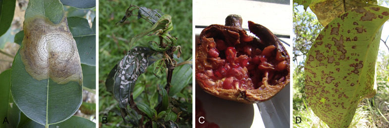 Revising the Schizoparmaceae: Coniella and its synonyms
