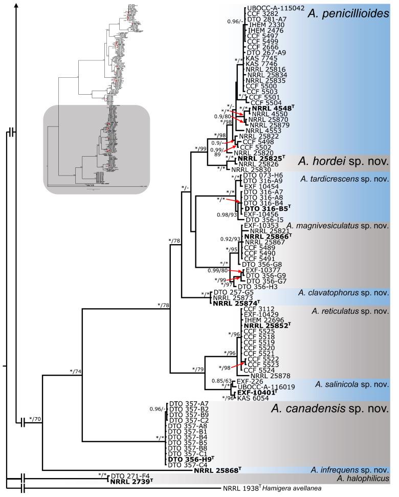 Phylogeny of xerophilic aspergilli (subgenus Aspergillus) and