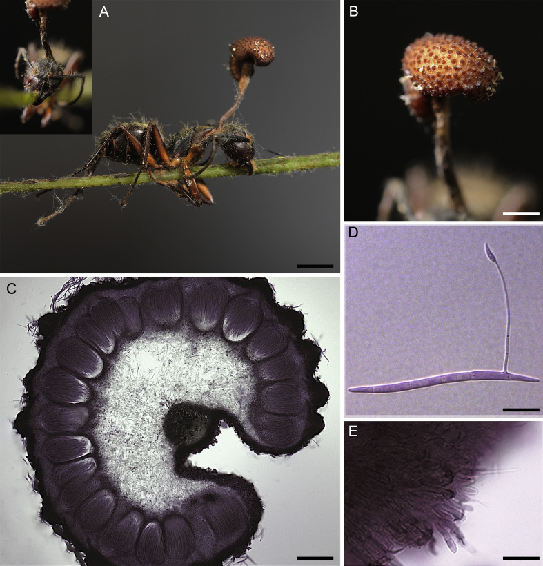 Zombie-ant fungi across continents: 15 new species and new