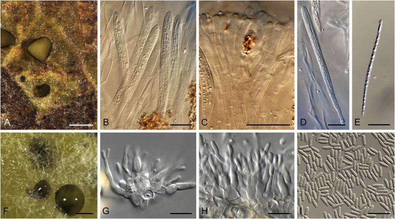 Foliar Pathogens Of Eucalypts Sciencedirect