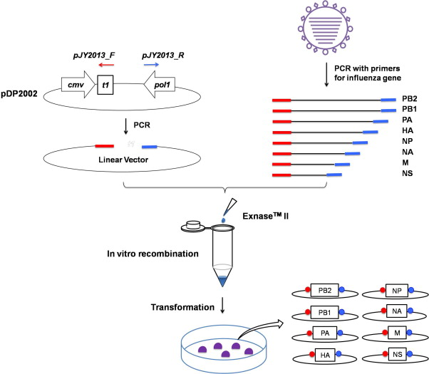An efficient and rapid influenza gene cloning strategy for