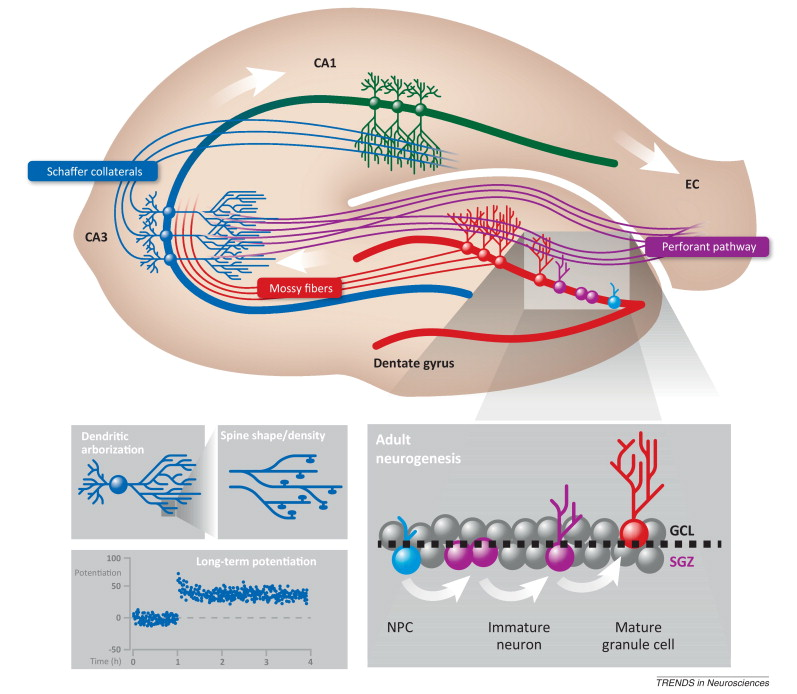 Perinatal programming of adult hippocampal structure and function ...