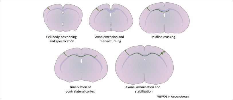 Contralateral targeting of the corpus callosum in normal and ...
