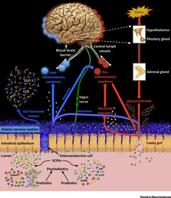 When Gut Bacteria Change Brain Function >> Psychobiotics And The Manipulation Of Bacteria Gut Brain