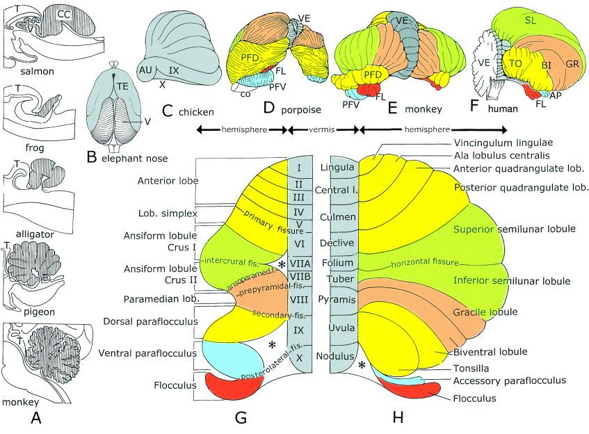 The anatomy of the cerebellum - ScienceDirect