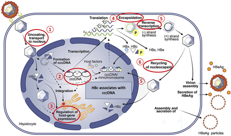 The diverse functions of the hepatitis B core/capsid protein