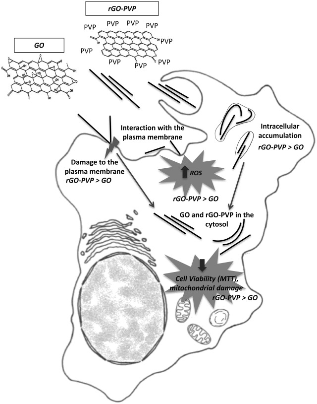 Intracellular Localization And Toxicity Of Graphene Oxide And