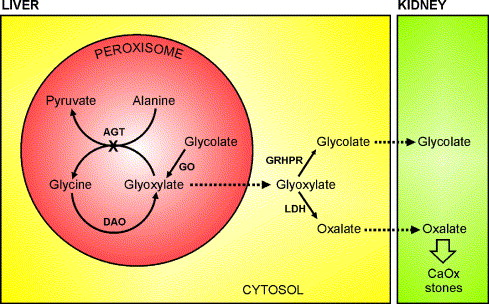 Primary hyperoxaluria type 1: AGT mistargeting highlights the fundamental  differences between the peroxisomal and mitochondrial protein import  pathways - ScienceDirect