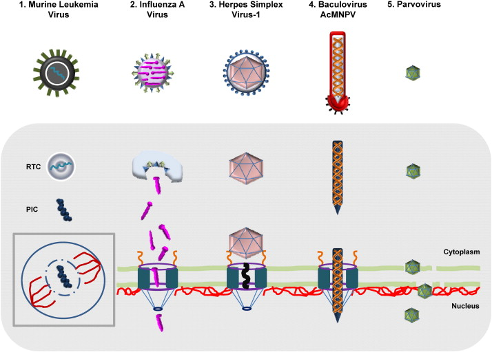 How viruses access the nucleus - ScienceDirect