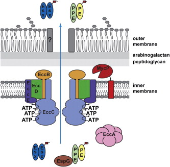 take five type vii secretion systems of mycobacteria sciencedirect