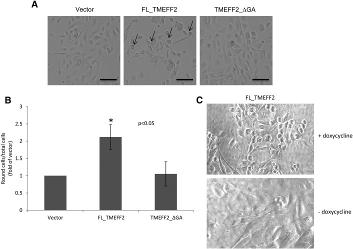 The TMEFF2 tumor suppressor modulates integrin expression, RhoA